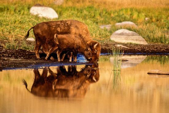 A Five Month Old Bison Calf Drinking Beside its Mother-Tom Murphy-Photographic Print