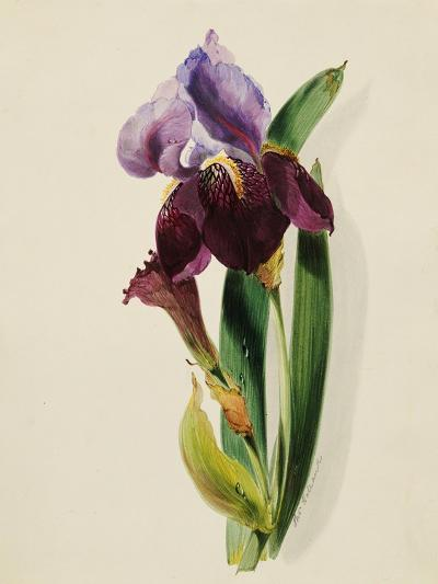 A Flag Iris-Thomas Holland-Giclee Print