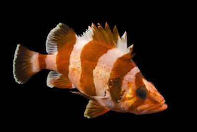 A Flag Rockfish, Sebastes Rubrivinctus, at Omaha's Henry Doorly Zoo and Aquarium-Joel Sartore-Photographic Print