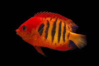 A Flame Angelfish, Centropyge Loricula, at Pure Aquariums-Joel Sartore-Photographic Print