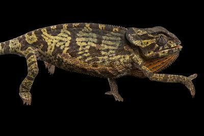 https://imgc.artprintimages.com/img/print/a-flap-necked-chameleon-collected-from-gorongosa-national-park_u-l-pok9s20.jpg?p=0
