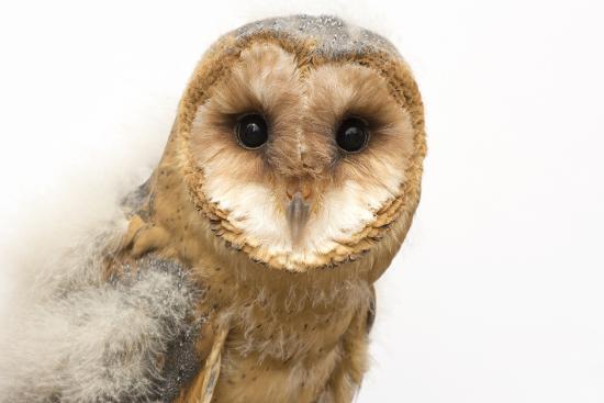 A fledgling European barn owl, Tyto alba guttata, from the Plzen Zoo.-Joel Sartore-Photographic Print