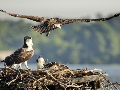 A Fledgling Osprey Lands in its Nest after One of its Early Flights-Kent Kobersteen-Photographic Print