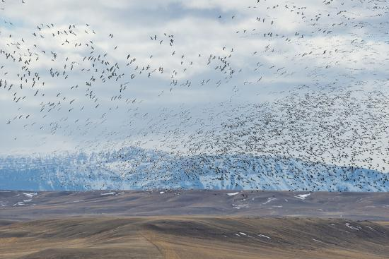 A Flock of Birds Fly Near the Front Range of the Rocky Mountains in Montana-Michael Melford-Photographic Print
