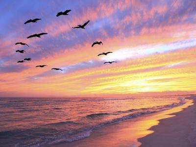 https://imgc.artprintimages.com/img/print/a-flock-of-brown-pelicans-fly-over-the-beach-as-the-sun-sets_u-l-q1bo2sp0.jpg?p=0