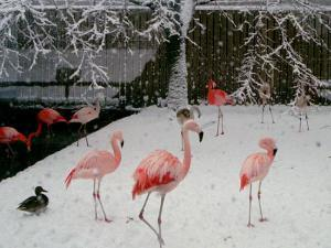 A Flock of Caribbean Flamingos Stand Together