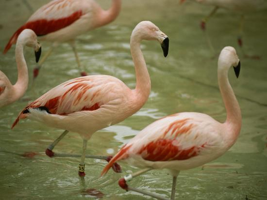 A Flock of Chilean Flamingos Wading in a Shallow Pool-Joel Sartore-Photographic Print
