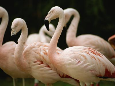 A Flock of Chilean Flamingos-Joel Sartore-Photographic Print