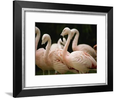 A Flock of Chilean Flamingos-Joel Sartore-Framed Photographic Print