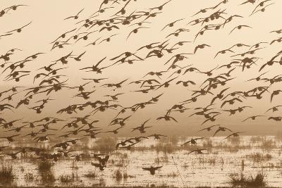 A Flock of Ducks in Flight-Nicole Duplaix-Photographic Print