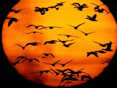 A Flock of Geese is Silhouetted against the Setting Sun-Joel Sartore-Photographic Print