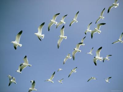 A Flock of Gulls in Flight-Bill Curtsinger-Photographic Print