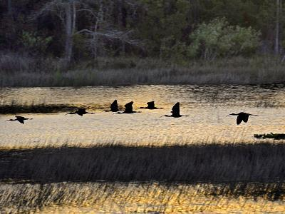 A Flock of Ibis Fly over the Sunset Colored Marsh-Raymond Gehman-Photographic Print