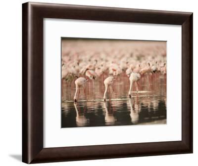 A Flock of Lesser Flamingos Feed in Lake Nakuru (Phoeniconaias Minor)-Roy Toft-Framed Photographic Print
