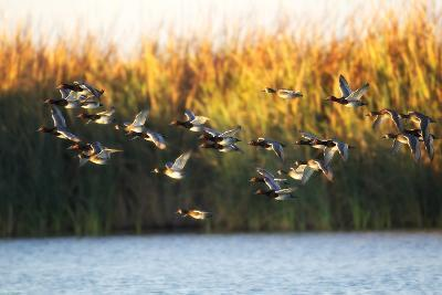 A Flock of Redhead Ducks, Aythya Americana, Flying Over Water-Robbie George-Photographic Print