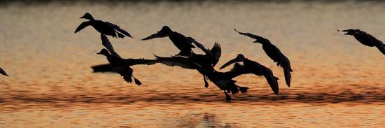 A Flock of Redhead Ducks, Aythya Americana, Landing in a Pond at Sunrise-Robbie George-Photographic Print