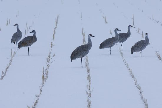 A Flock of Sandhill Cranes Resting in a Cornfield after a Blizzard-Michael Forsberg-Photographic Print