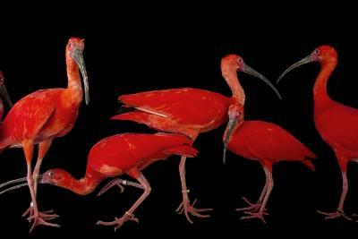 A Flock of Scarlet Ibis, Eudocimus Ruber, at the Caldwell Zoo-Joel Sartore-Photographic Print