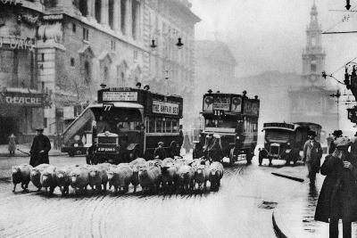 A Flock of Sheep on the Strand, London, 1926-1927--Giclee Print