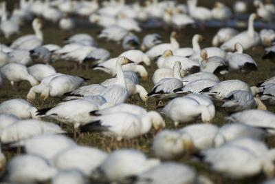 A Flock of Snow Geese, Chen Caerulescens, Feeding and Resting in a Farmer's Field-Paul Colangelo-Photographic Print