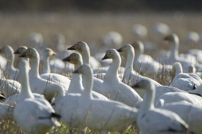 A Flock of Snow Geese, Chen Caerulescens, in a Farmer's Field-Paul Colangelo-Photographic Print