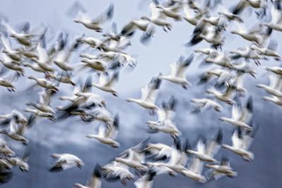 https://imgc.artprintimages.com/img/print/a-flock-of-snow-geese-chen-caerulescens-taking-flight_u-l-pol0s60.jpg?p=0