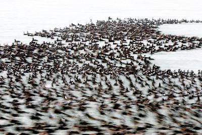 A Flock of Surf Scoter Ducks, Melanitta Perspicillata, on the Water-Paul Colangelo-Photographic Print