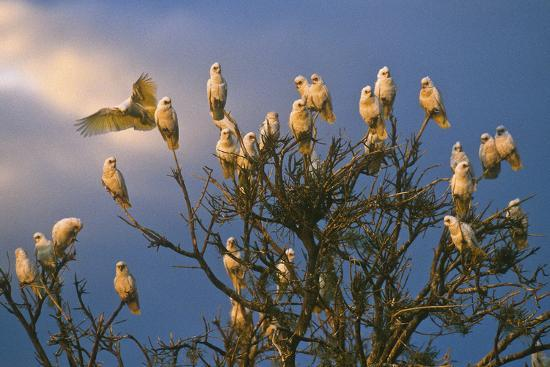 A Flock of Western Corellas Perching in a Tree in Australia's Outback in South Australia-Medford Taylor-Photographic Print