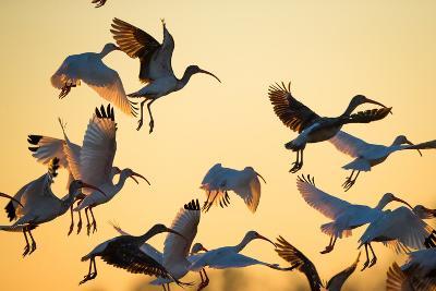 A Flock of White Ibises, Eudocimus Albus, Taking Flight-Robbie George-Photographic Print