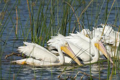 A Flock of White Pelicans in Line Feeding, Viera Wetlands, Florida-Maresa Pryor-Photographic Print