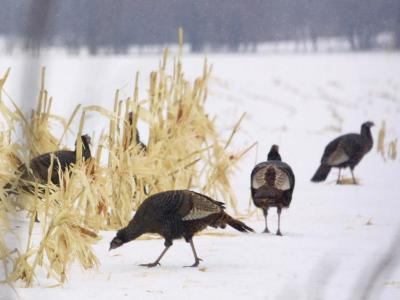 A Flock of Wild Turkey Pick Over a Corn Field in Williston, Vermont, Wednesday, March 5, 2003-Alden Pellett-Photographic Print