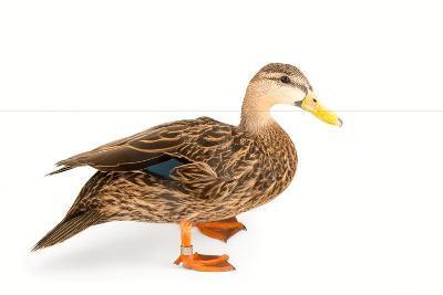 A Florida Duck, Anas Fulvigula, at Sylvan Heights Bird Park-Joel Sartore-Photographic Print