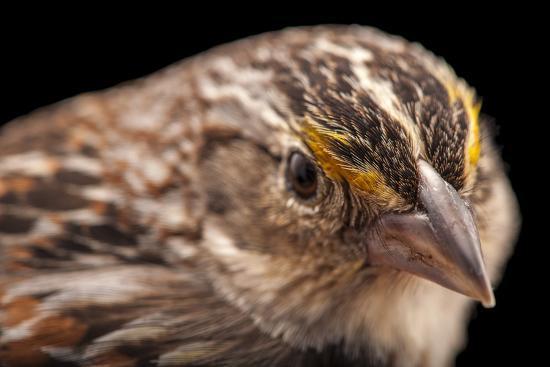 A Florida Grasshopper Sparrow, Ammodramus Savannarum Floridanus-Joel Sartore-Photographic Print