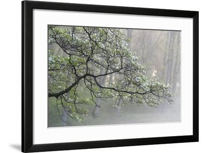 A Flowering Dogwood Tree at Woodlawn, a Tract of Upland Meadows and Woods-Michael Melford-Framed Photographic Print