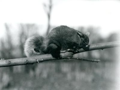 A Flying Phalanger on a Branch at London Zoo, February 1922-Frederick William Bond-Photographic Print
