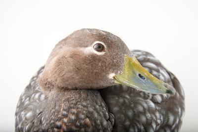 A Flying Steamer Duck, Tachyeres Patachonicus, at Sylvan Heights Bird Park-Joel Sartore-Photographic Print