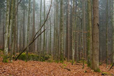 A Foggy Bavarian Forest in Autumn-Sergio Pitamitz-Photographic Print