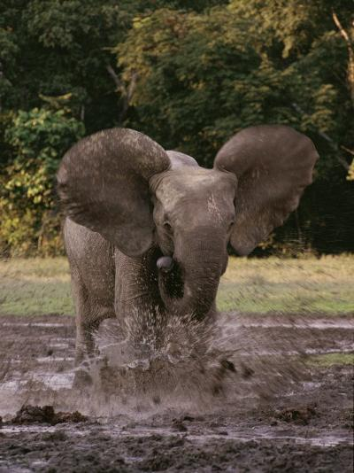 A Forest Elephant Runs Through Water-Michael Fay-Photographic Print