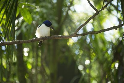 A Forest Kingfisher, Todiramphus Macleayii, at the Taronga Zoo-Joel Sartore-Photographic Print