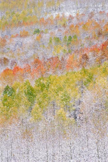 A Forest of Aspen Trees in the Wasatch Mountains, with Striking Yellow and Red Autumn Foliage. Snow-Mint Images - David Schultz-Photographic Print