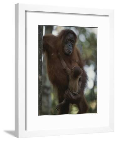 A Former Captive Orangutan and Her Baby, Which was Born in the Wild-Michael Nichols-Framed Photographic Print