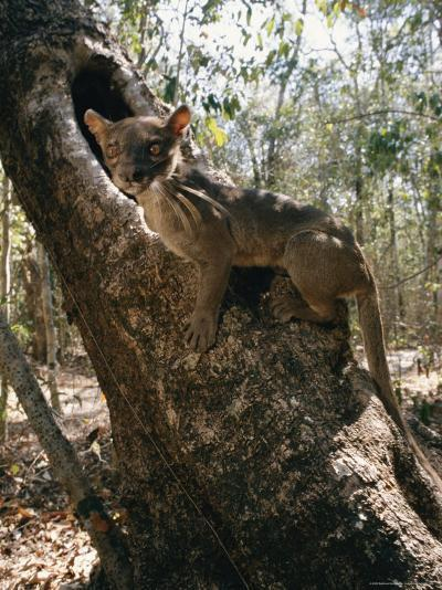 A Fossa Stands on a Tree Trunk-Roy Toft-Photographic Print