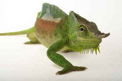 A Four-Horned Chameleon, Chamaeleo Quadricornis, at the Fort Worth Zoo-Joel Sartore-Photographic Print