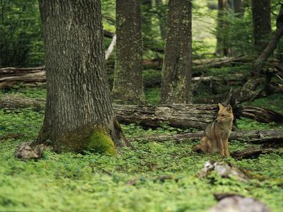 A Fox Sits in a Green Woodland-Bill Hatcher-Photographic Print