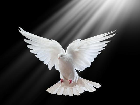 A Free Flying White Dove Isolated On A Black Background-Irochka-Art Print