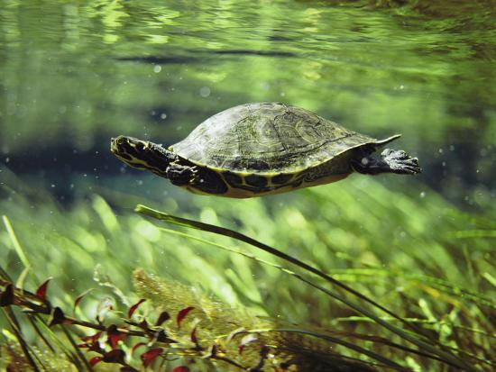 A Freshwater Turtle Swimming Underwater-Bill Curtsinger-Photographic Print
