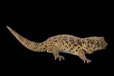https://imgc.artprintimages.com/img/print/a-frog-eyed-gecko-at-the-national-mississippi-river-museum-and-aquarium_u-l-pu72e70.jpg?p=0