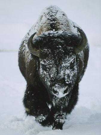 https://imgc.artprintimages.com/img/print/a-frost-covered-american-bison-bull-walks-through-the-snow_u-l-p3kec40.jpg?p=0