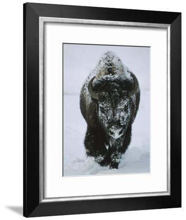 A Frost-Covered American Bison Bull Walks Through the Snow-Tom Murphy-Framed Photographic Print