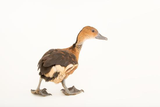 A Fulvous Whistling Duck, Dendrocygna Bicolor, at Sylvan Heights Bird Park-Joel Sartore-Photographic Print